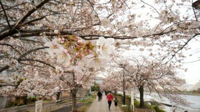 ฤดูใบไม้ผลิที่ญี่ปุ่น
